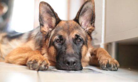 Adotta un Cane Poliziotto in Pensione